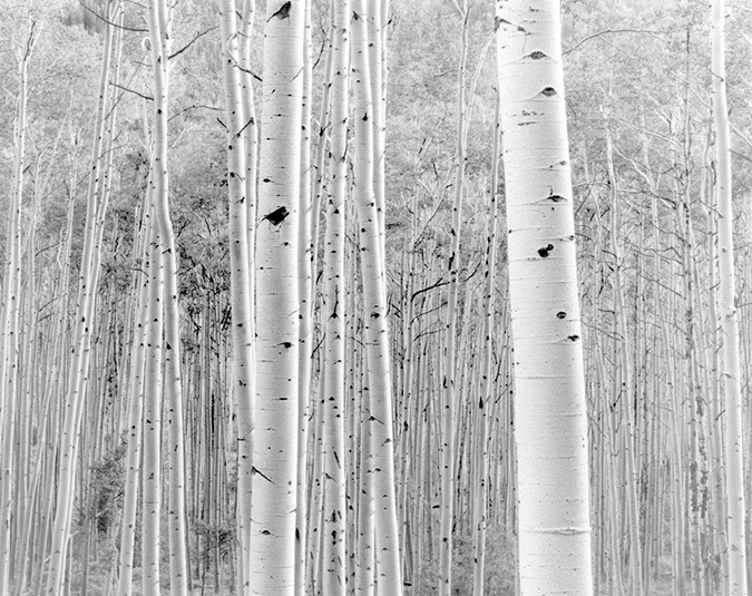 Aspens near Snowmass Colorado, 2000