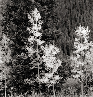 Aspen and Evergreens