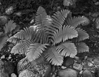 Fern and River Stones, Wild River Maine, 2010