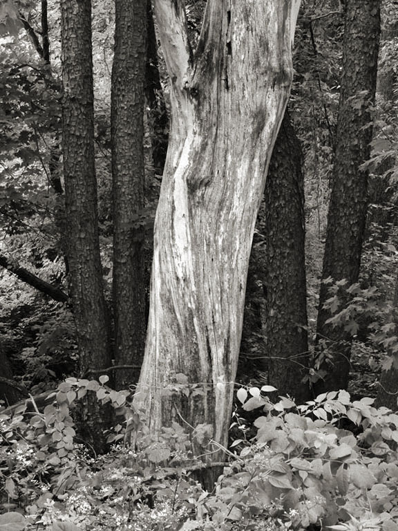 Tree Trunks and Vines, Heald Track, Wilton NH 2013